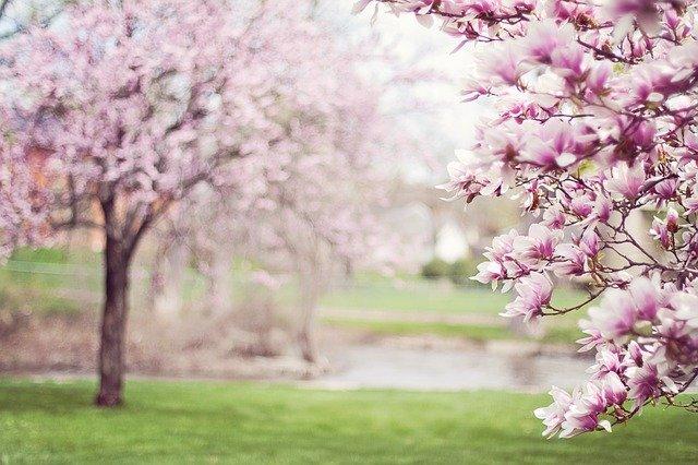 De oude sprookjesachtige magnolia is een wonderlijke boom